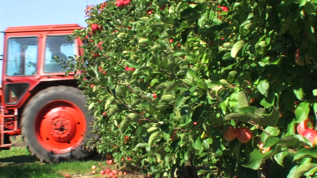 red apples - agriculture on an orchard video