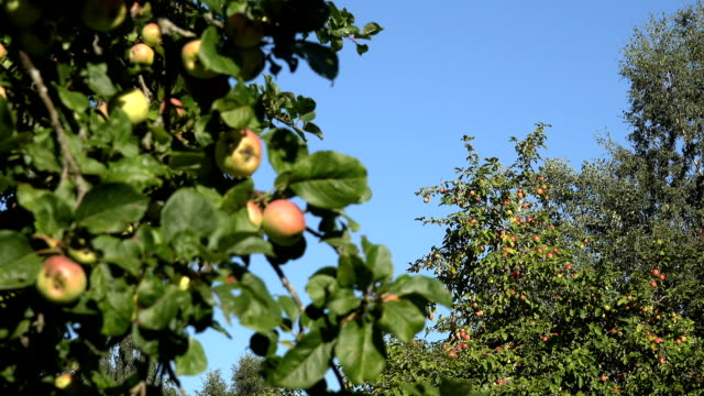 Red apples and leaves on fruit tree branches on blue sky background. Focus change. video