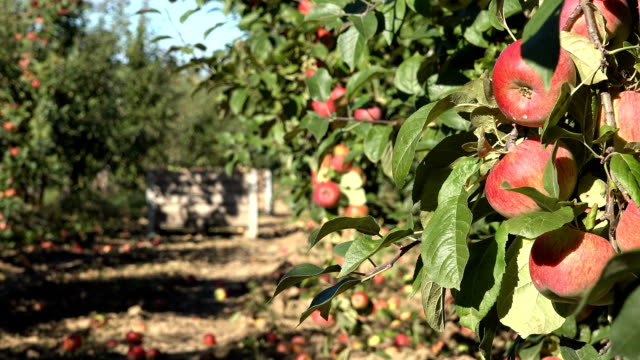 red apples hanging on branch and wooden boxes full of fruits. Focus change. video