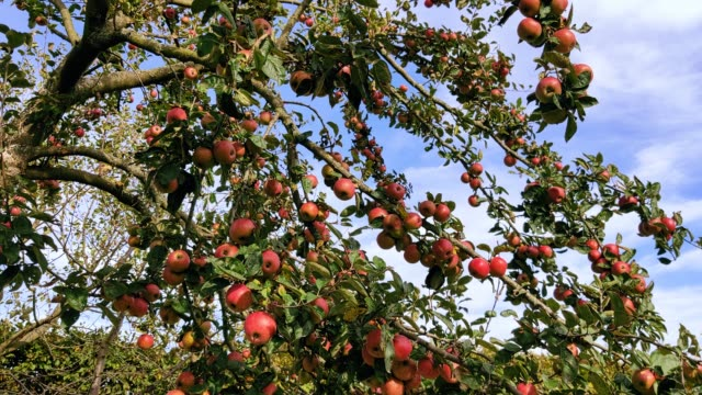 Red apples on tree branches in garden.
