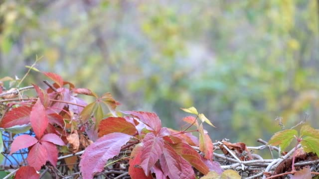 Red autumn grape leaves sway in the wind on a blurred background of a cloudy day video