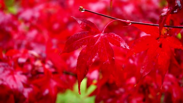 Red autumn maple leaves in rain in forest video