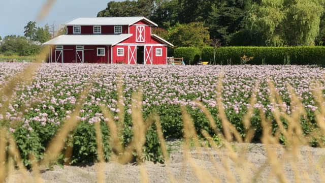 Red Barn and Potato Blossoms A field of flowering potato plants in front of a scenic bright, red, barn. barns stock videos & royalty-free footage