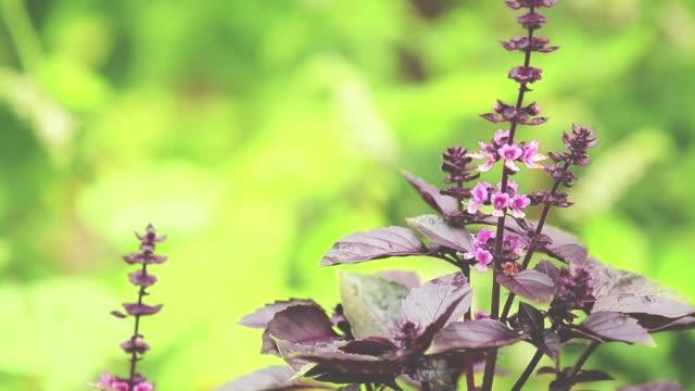 röd basilika blossom med vatten droppar i trädgården. plantera i regnet, närbild, dynamisk scen, tonad video. - basilika ört bildbanksvideor och videomaterial från bakom kulisserna