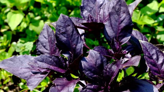 vídeos de stock e filmes b-roll de red basil fragrant aromatic herb grows - manjericão