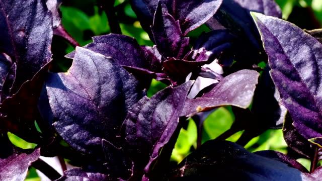 röd basilika doftande aromatisk ört växer - basilika ört bildbanksvideor och videomaterial från bakom kulisserna