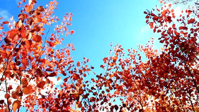 schöne rote blätter der espen im herbst im wald - baumgruppe stock-videos und b-roll-filmmaterial