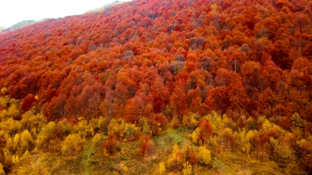 Red beech trees. Flying above beautiful autumn forest in Carpathian mountains. Aerial view. video