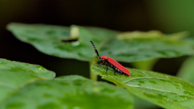 Red Beetle on green leaf in tropical rain forest. video