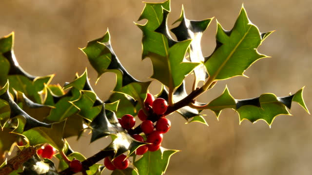 Red berries of holly shrub close up