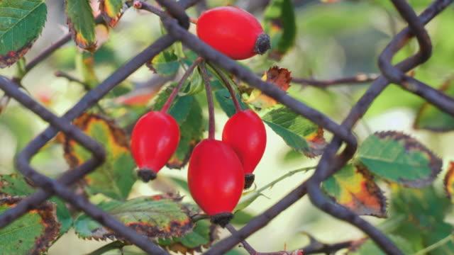 赤いベリーローズヒップブッシュは、フェンスの鉄の棒の後ろの風に揺れます。自然治癒植物。 - イヌバラ点の映像素材/bロール