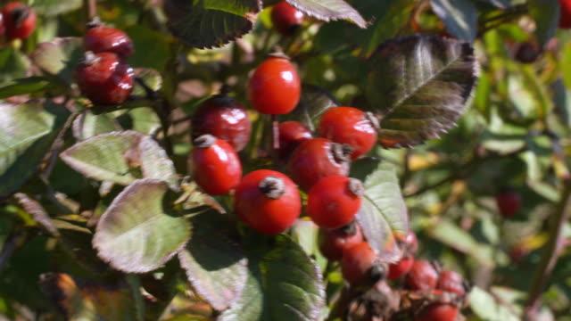 赤いベリー野生のローズヒップブッシュが風に揺れる。自然治癒植物。 - イヌバラ点の映像素材/bロール