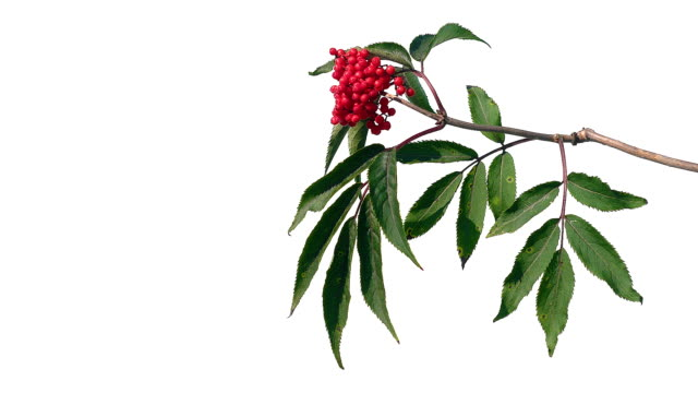 Red berries with green leaves on isolated white screen background Red berries with green leaves on isolated white screen background. bush stock videos & royalty-free footage