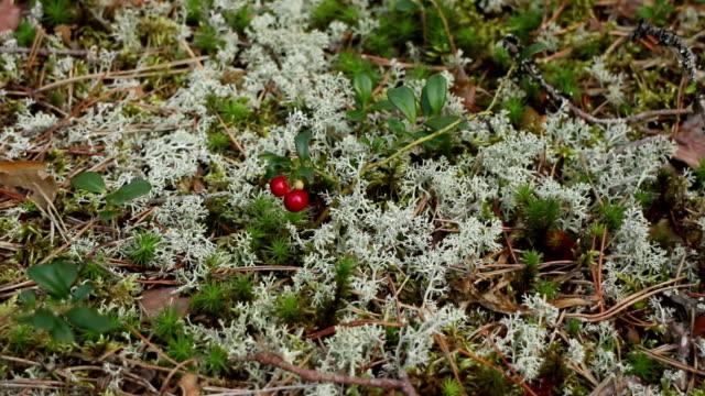 red bilberry among moss of yagel - muschio flora video stock e b–roll