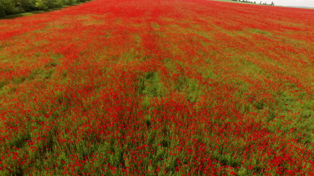 Red Blanket Of Blooming Poppies On The Filed video