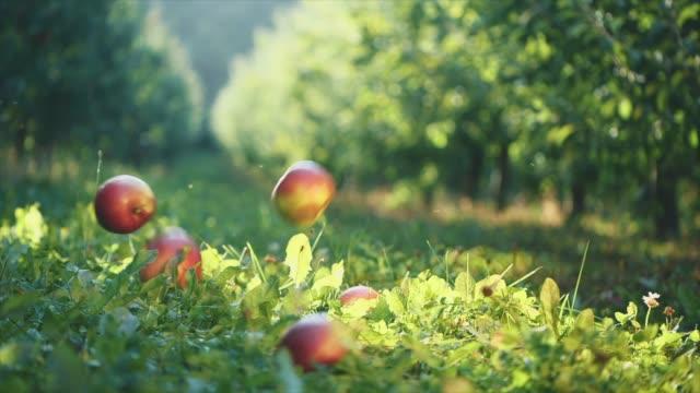 red bright apples are falling on the grass. super slow motion. slowmo. copy space. 4k. - jabłko filmów i materiałów b-roll