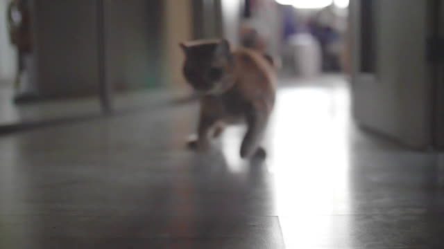 Red british cat plays with red light of laser pointer 1 video