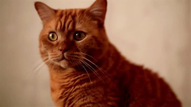 red british cat watching something - gatto dal pelo corto video stock e b–roll