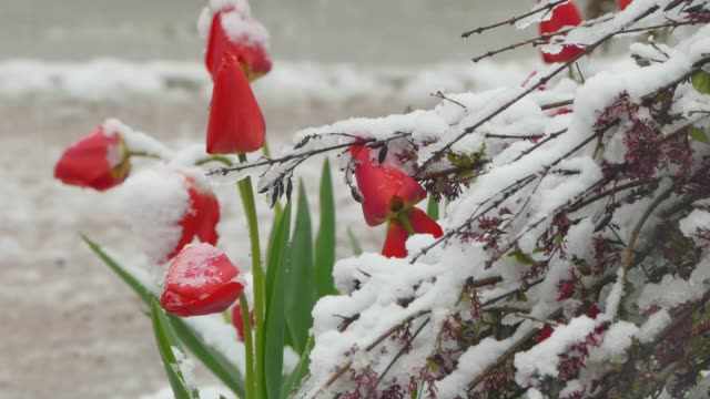 Red buds covered with snow video