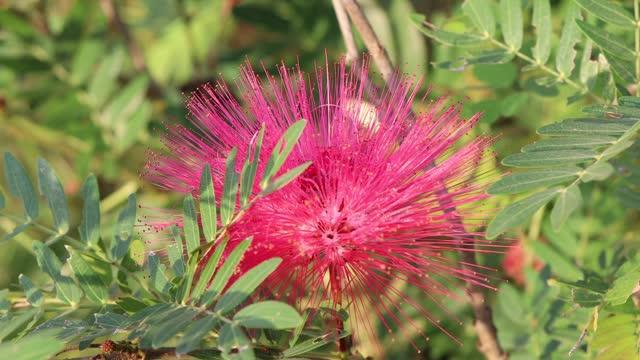 vídeos de stock e filmes b-roll de red calliandra haematocephala hassk flower - calliandra haematocephala