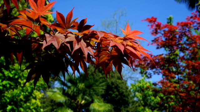 Red canadian maple leaves in the wind. video
