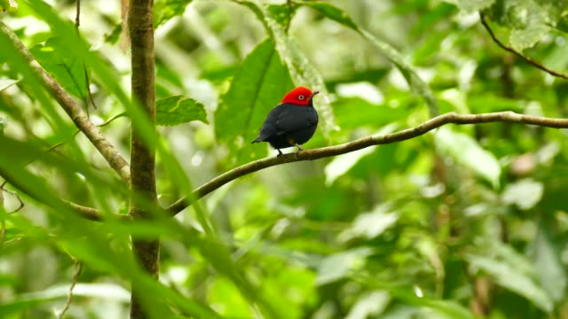 Red capped manakin beautifully displayed with bright color