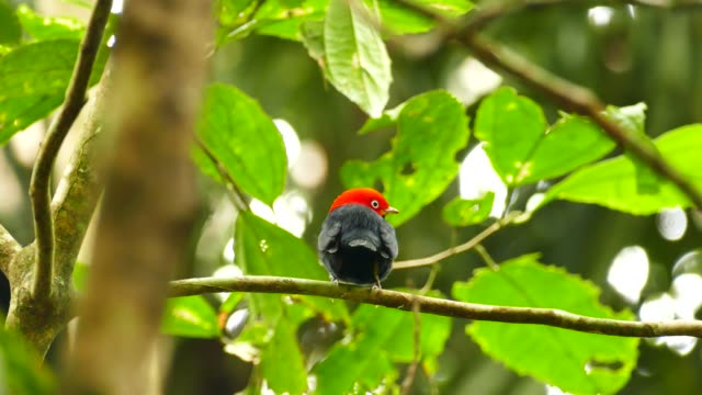 Red capped manakin in Panama looking back to the camera