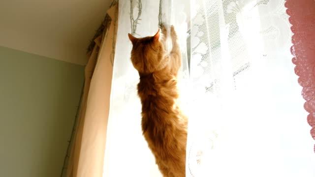 赤猫に掛かっているカーテン、転倒 - 吊るす点の映像素材/bロール