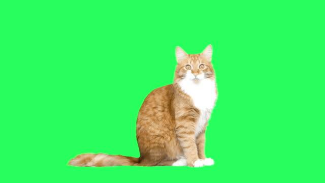 jest czerwony kot ziewanie - zielony kolor filmów i materiałów b-roll