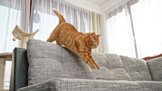 SLO MO LD Red cat jumping from the cat tree onto the sofa while trying to catch something on the floor