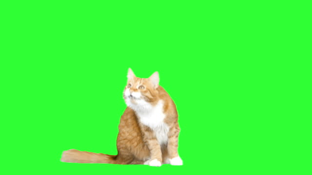 red cat looking up and talking red cat looking up and talking on a green screen tabby cat stock videos & royalty-free footage