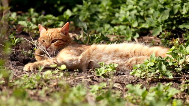 Red cat luxuriates in warm spring sunshine video