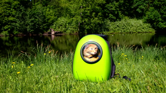 vídeos de stock e filmes b-roll de red cat sits in a carrying bag in the park for a walk, the pet sits in a green backpack-capsule with a porthole window - mochila saco