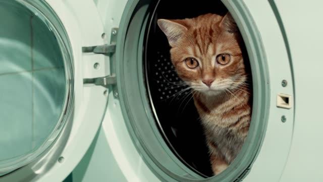 Red cat sitting in washing machine. 4k