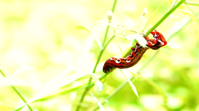 A Red Caterpillar Climbing on Twig video