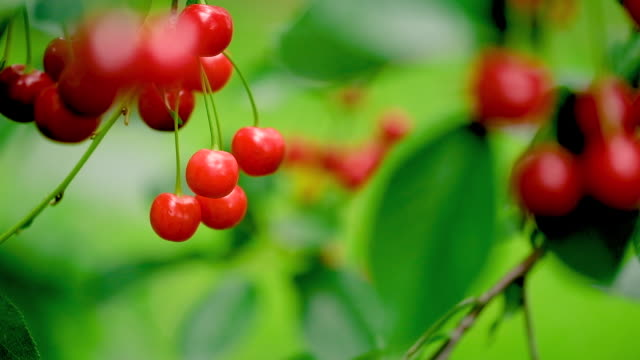 Red Cherries hanging on a tree branch