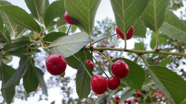 red cherries video