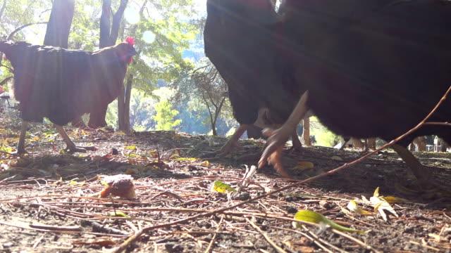 Red chicken feeding on the farm video