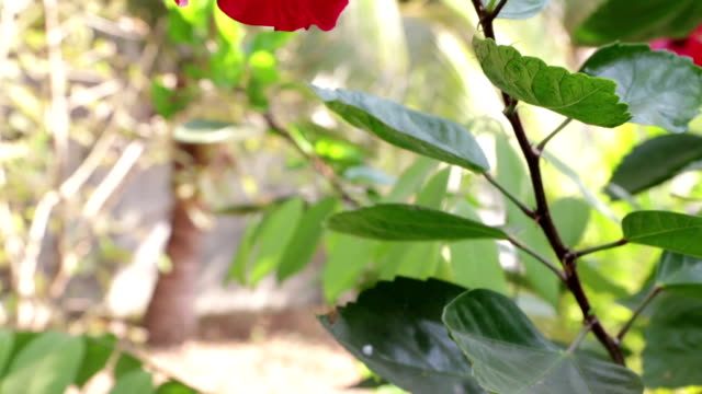 red chinese rose flower video
