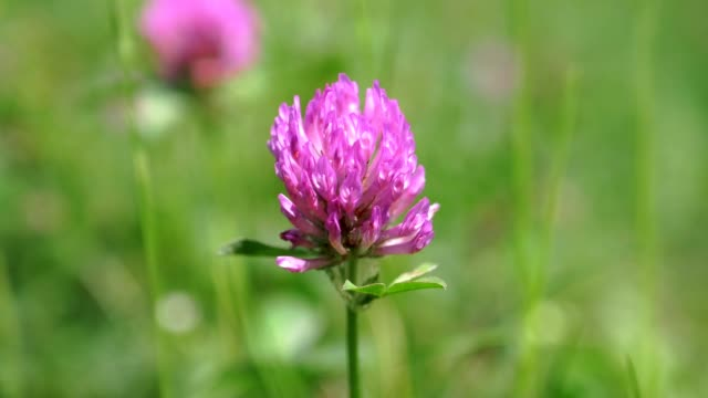 Red clover close up in green grass video