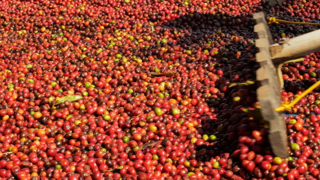 red coffee beans berries and drying process - coffee farmer video stock e b–roll