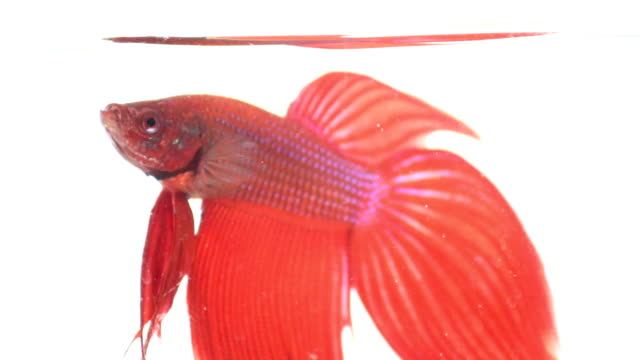 vidéos et rushes de couleur rouge poisson combattant siamois avec belle queue - nageoire caudale