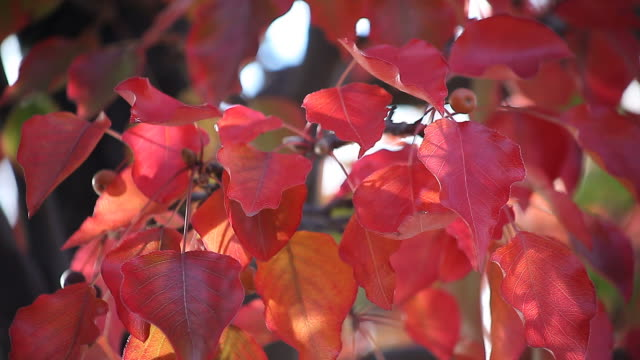 red crabapple leaves in autumn video