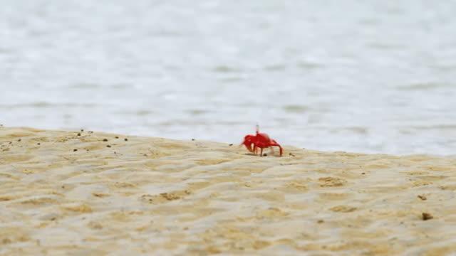 rosso granchi migrazione - granchio video stock e b–roll