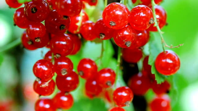 Red currant bunch, close-up view video