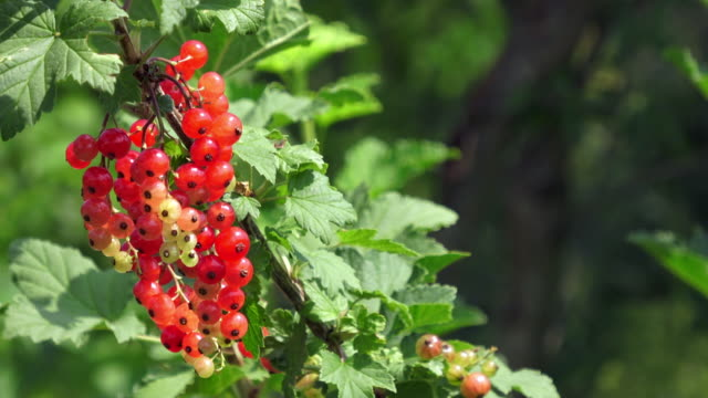 red currant fruit - ribes rosso video stock e b–roll