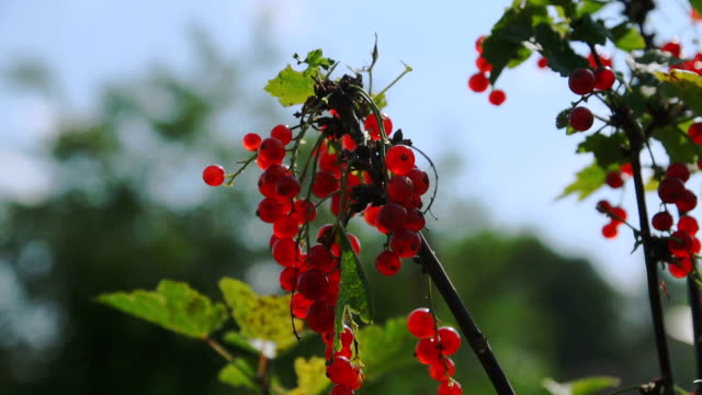 Red currant hanging on the tree. video