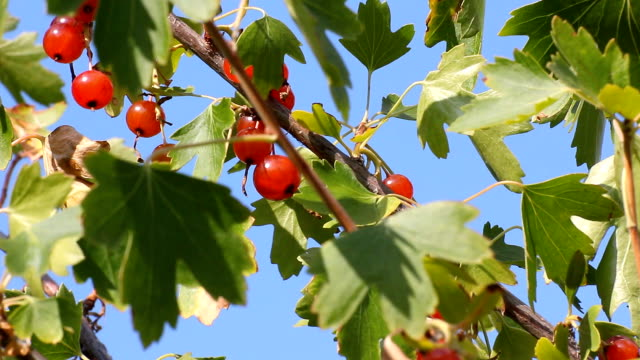 Red currant in the summer garden video