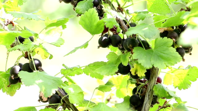 Red Currant on a Branch video
