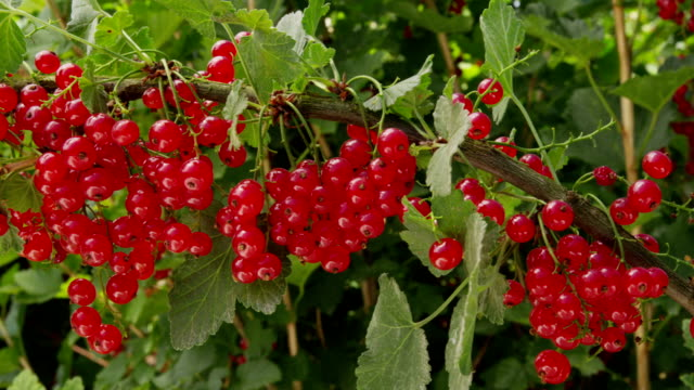 Red currant on the bush video